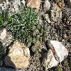 OpuntiaAurea.jpg 1208 x 832 px 317.44 kB