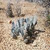 OpuntiaBasilaris4.jpg 1201 x 804 px 340.09 kB