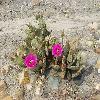 OpuntiaBasilaris.jpg 1216 x 912 px 610.15 kB
