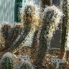 OreocereusFossulatus.jpg 720 x 960 px 450.96 kB