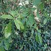 OrixaJaponica2.jpg 1219 x 914 px 251.93 kB
