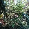 OrixaJaponica.jpg 1219 x 914 px 466.09 kB