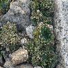 OrostachysSpinosa4.jpg 640 x 480 px 269.39 kB