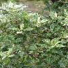 OsmanthusHeterophyllus2.jpg 576 x 768 px 133.6 kB