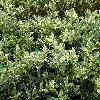 OsmanthusHeterophyllusTricolor.jpg 1024 x 768 px 281.91 kB