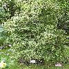 OsmanthusHeterophyllus.jpg 576 x 768 px 199.54 kB