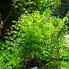 OsmundaRegalisCristata.jpg 720 x 960 px 523.24 kB