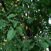 OstryaCarpinifolia2.jpg 1127 x 845 px 268.77 kB