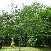 OstryaCarpinifolia.jpg 630 x 840 px 162.42 kB