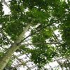 PachiraAquatica7.jpg 615 x 820 px 163.66 kB