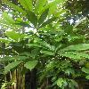 PachiraAquatica.jpg 678 x 908 px 285.17 kB