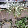 PachypodiumGeayi.jpg 768 x 1024 px 168.54 kB