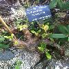 PachypodiumHorombense2.jpg 678 x 908 px 369.28 kB
