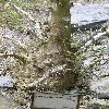 PachypodiumSaundersii10.jpg 615 x 820 px 158.61 kB