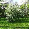 PadusAvium3.jpg 681 x 908 px 491.76 kB