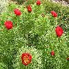 PaeoniaTenuifolia.jpg 1024 x 768 px 325.26 kB