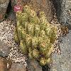 ParodiaLeninghausii.jpg 1110 x 833 px 283.47 kB