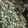 ParonychiaCapella2.jpg 1200 x 900 px 235.31 kB