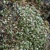 ParonychiaCapella.jpg 1200 x 900 px 372.49 kB