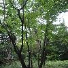 ParrotiopsisJacquemontiana2.jpg 681 x 908 px 434.75 kB
