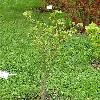 ParrotiopsisJacquemontiana.jpg 692 x 922 px 225.27 kB