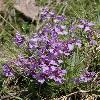 ParryaLancifolia.jpg 600 x 800 px 342.19 kB