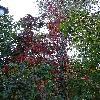 ParthenocissusQuinquefolia4.jpg 623 x 830 px 241.3 kB
