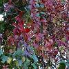 ParthenocissusQuinquefolia5.jpg 1115 x 836 px 294.7 kB
