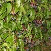 ParthenocissusQuinquefolia6.jpg 799 x 600 px 98.19 kB