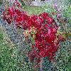 ParthenocissusQuinquefolia8.jpg 1115 x 836 px 368.31 kB