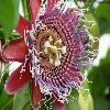 PassifloraAlata3.jpg 1024 x 768 px 170.1 kB