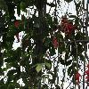 PassifloraRacemosa3.jpg 1024 x 768 px 217.41 kB