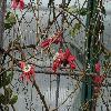 PassifloraRacemosa.jpg 1024 x 768 px 203.62 kB