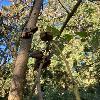 PaulowniaFargesii5.jpg 1024 x 768 px 391.89 kB