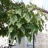 PaulowniaTomentosa12.jpg 1127 x 845 px 185.85 kB