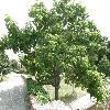 PaulowniaTomentosa15.jpg 1127 x 845 px 249.54 kB