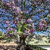 PaulowniaTomentosa7.jpg 576 x 768 px 121.83 kB