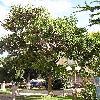 PaulowniaTomentosa.jpg 576 x 768 px 179.46 kB