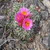 PediocactusNigrispinus2.jpg 480 x 360 px 56.28 kB