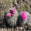 PediocactusNigrispinus3.jpg 480 x 360 px 66.61 kB