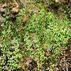 PellaeaAndromedifolia.jpg 1200 x 797 px 546.45 kB