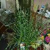 PennisetumAlopecuroidesHameln2.jpg 1127 x 845 px 221.17 kB