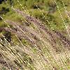 PennisetumSetaceum3.jpg 600 x 800 px 399.09 kB