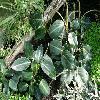 Peperomia7.jpg 1127 x 845 px 231.98 kB