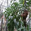 PereskiaGrandifolia4.jpg 1024 x 768 px 225.13 kB