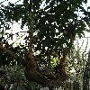PereskiaGrandifolia.jpg 576 x 768 px 141.34 kB