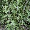 PerovskiaAtriplicifolia3.jpg 1200 x 900 px 296.55 kB