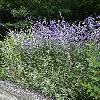 PerovskiaAtriplicifolia.jpg 562 x 800 px 190.22 kB