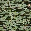 PersicariaAmphibia4.jpg 1024 x 768 px 187.25 kB