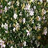 PetrorhagiaSaxifraga3.jpg 1200 x 675 px 253.61 kB